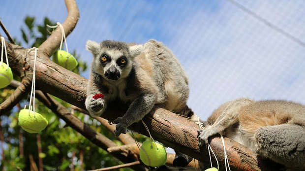 Lemur eating beetroot from tennis ball