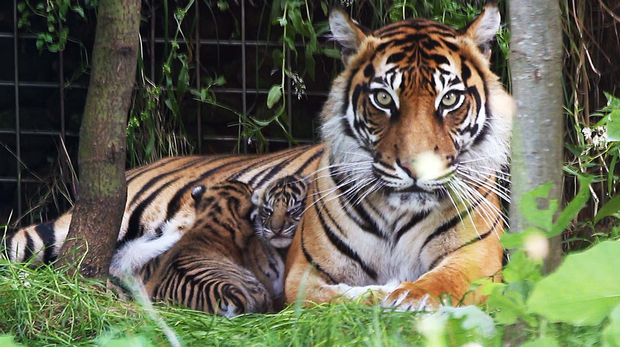Melati and the tiger cubs outside