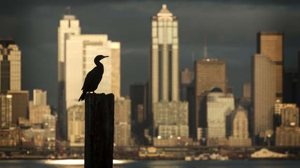 Cormorant in a city