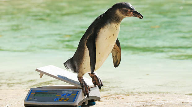 Penguin chick at annual weigh-in
