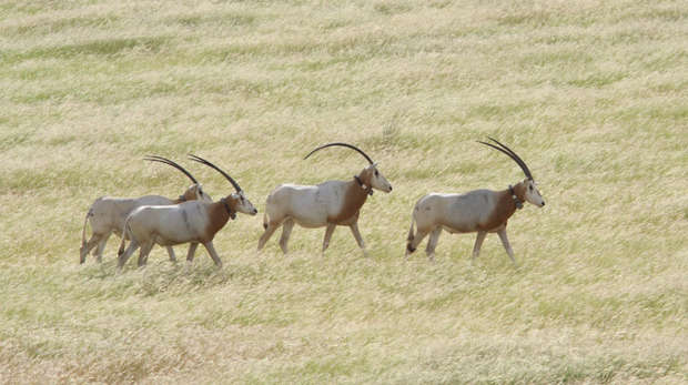 Scimitar horned oryx release, Chad