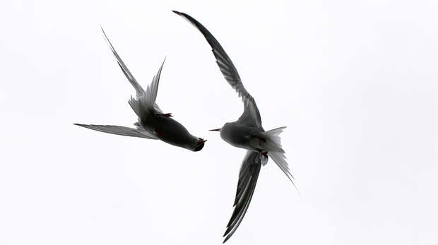 Arctic terns in flight - Junior Judges' Choice