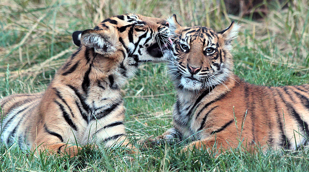 Tiger Melati licks six month old cub