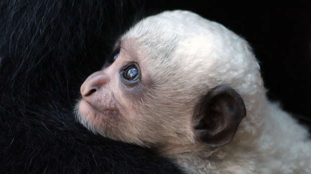 Baby colobus monkey born at ZSL London Zoo
