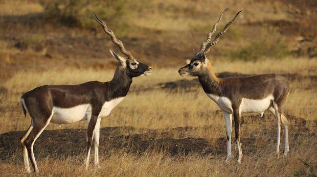 Two Indian Black Buck Antelope in the Devalia Gir Interpretation Zone, Gujarat, India.