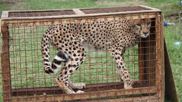 Caged cheetah discovered in Tanzania
