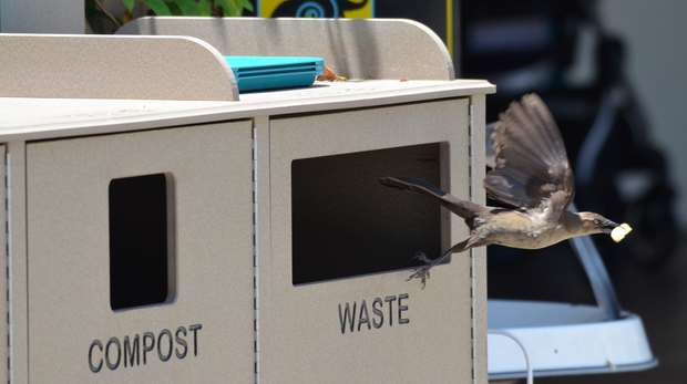 Great-tailed grackles quickly learned to dumpster dive for French fries after the Santa Barbara Zoo changed to new garbage containers.