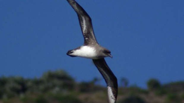 Round Island Petrel flying