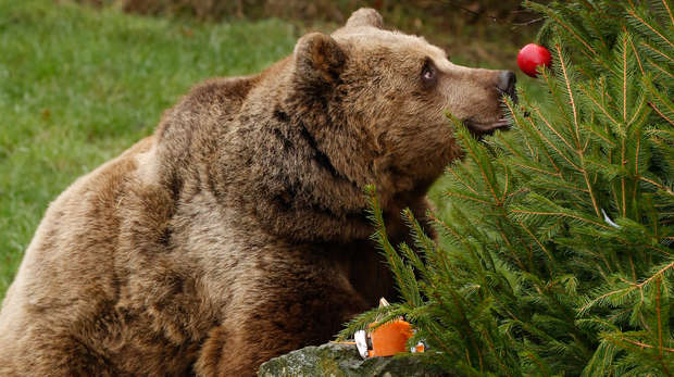 Brown bear with Christmas tree