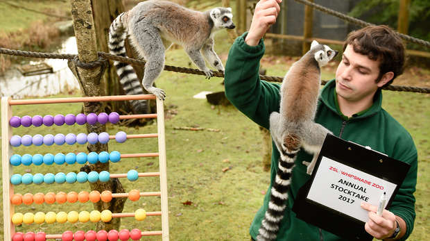 Keeper and lemurs annual stocktake