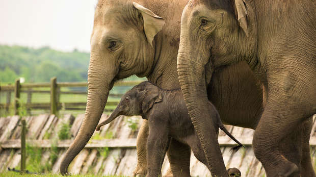 Baby Asian elephant Elizabeth with her family at ZSL Whipsnade Zoo including