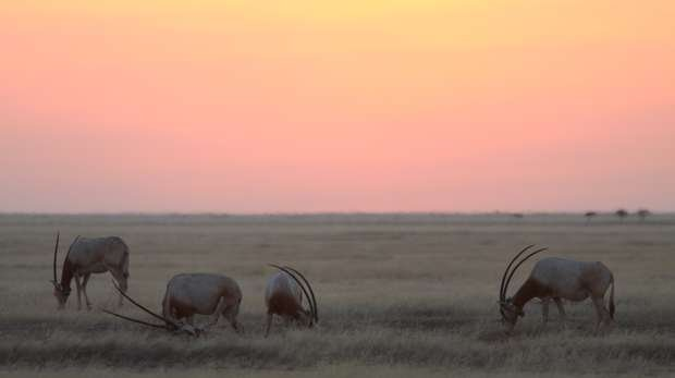 Scimitar-horned oryx are released