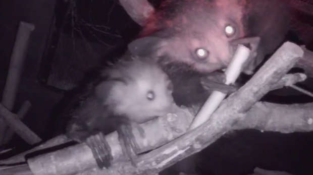 Aye-Aye baby and mum