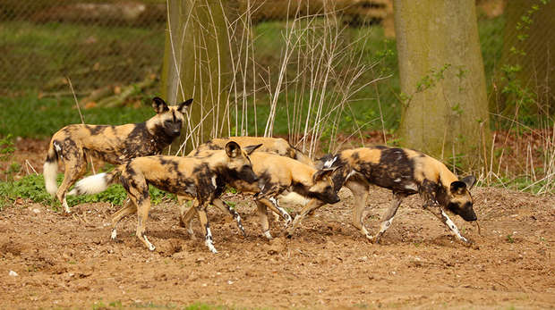 Hunting dog pack at ZSL Whipsnade Zoo