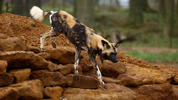 African hunting dog on rocks