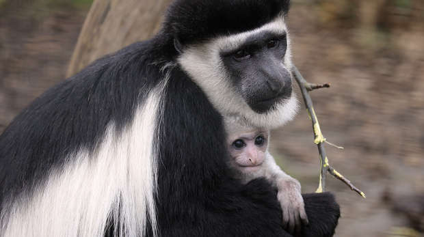 Black and white colobus monkey baby Mandela