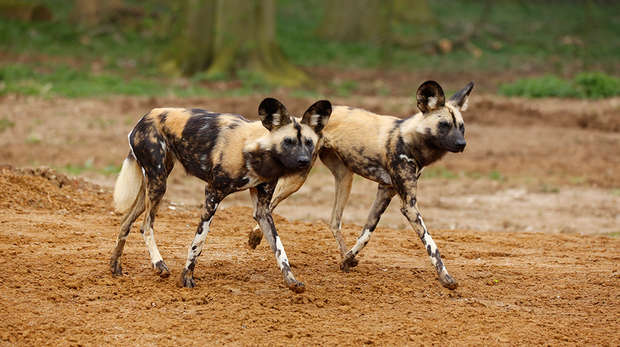 Pair of African hunting dogs at ZSL Whipsnade Zoo