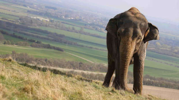 A female Asian elephant at ZSL Whipsnade Zoo on top of the Chilterns