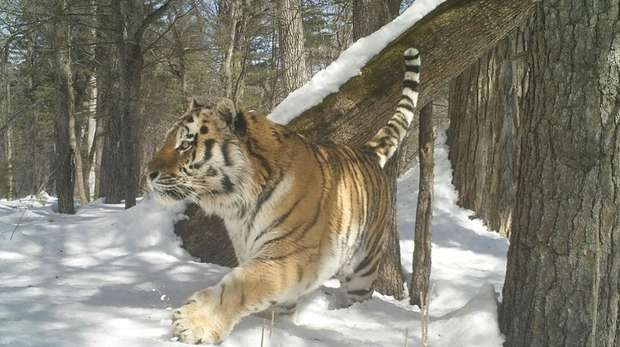 Amur tiger caught on camera trap