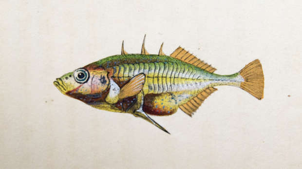 Colourful print in yellow and green of a three spined stickleback