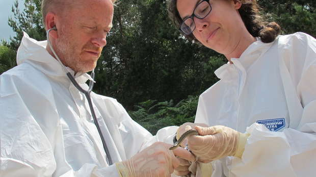Senior Lecturer and DRAHS Project Leader Tony Sainsbury and Wildlife Veterinarian Jenny Jaffe conduct a thorough health examination on a free-living smooth snake.
