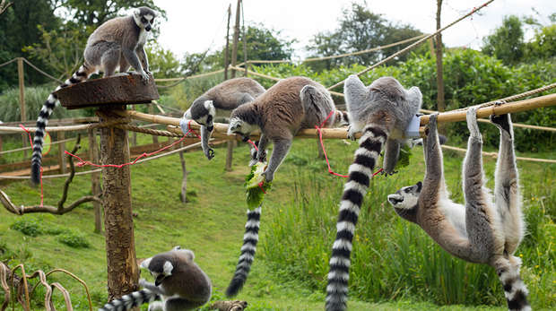 Lemurs enjoy assault course at ZSL Whipsnade Zoo