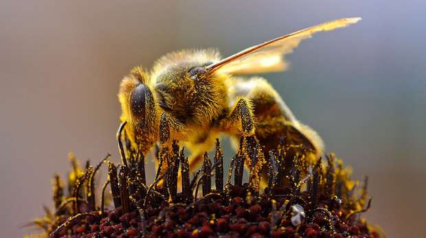 Bee and pollen_microbes