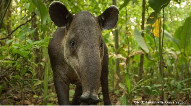 Bairds tapir Nai conservation