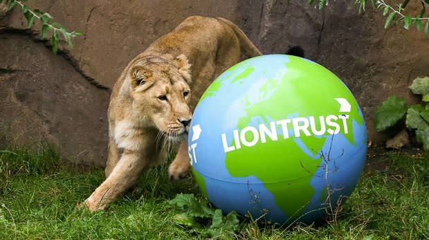 World Lion Day at ZSL London Zoo
