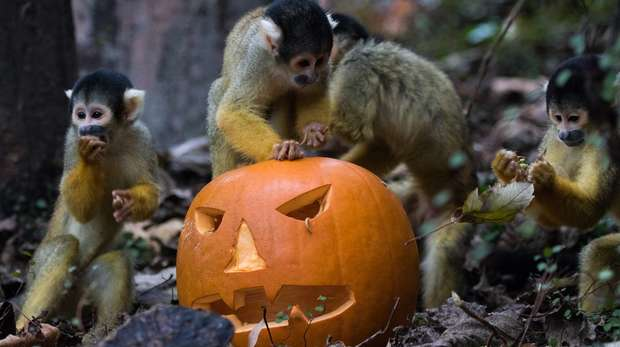 Squirrel monkeys enjoy mealworms in pumpkin at Halloween