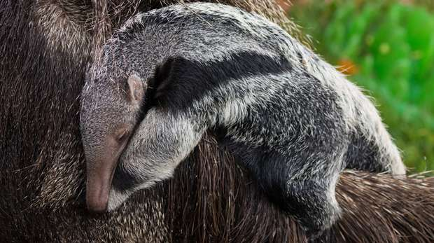 A giant anteater has been born at ZSL London Zoo