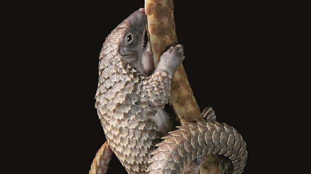 White Bellied Pangolin Hanging on Tail