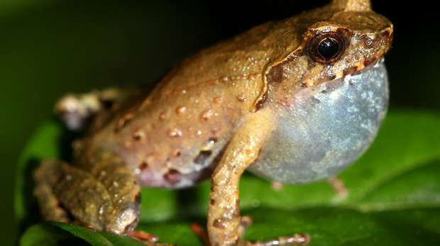 Red-thighed horned tree frog