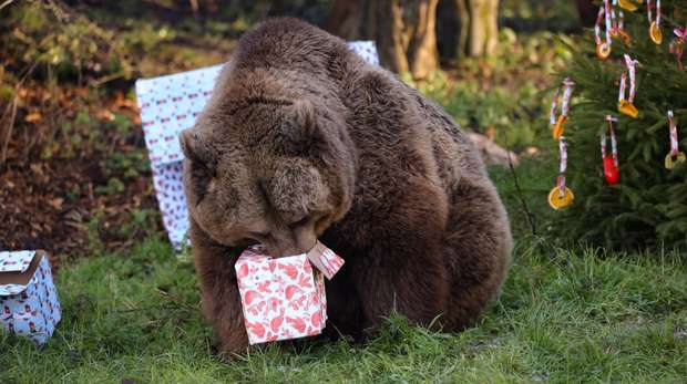 Brown bear enjoying Christmas presents at ZSL Whipsnade Zoo