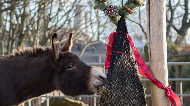 Donkeys enjoy Christmas at ZSL London Zoo