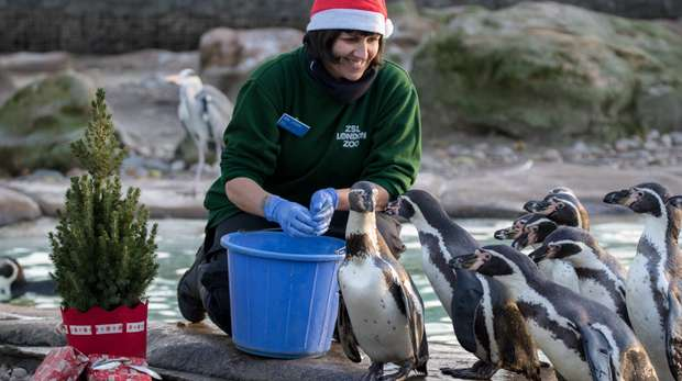 Penguins enjoy Christmas at ZSL London Zoo