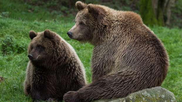 European brown bears at ZSL Whipsnade Zoo