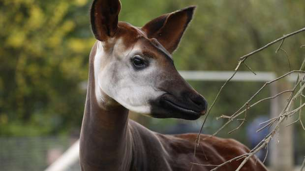 First-time mum Oni the okapi, gave birth to Meghan on Saturday 9 December 2017