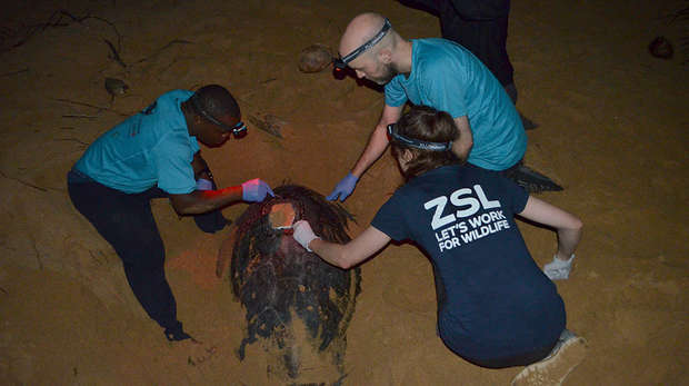 Sea Turtle Tagging in Principe