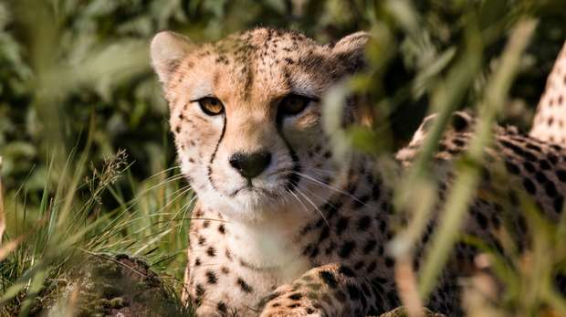 Cheetah at ZSL Whipsnade Zoo