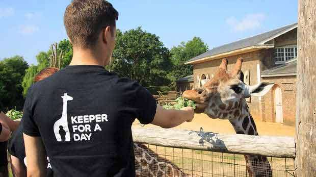 London Zoo Keeper for a Day experience feeding the giraffes