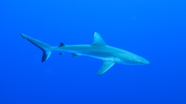 grey reef shark in deep blue ocean background