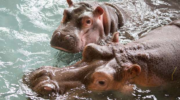 Common hippos Lola and Hodor