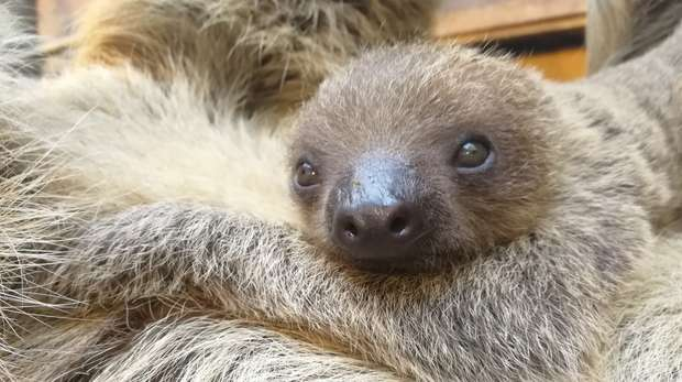 Baby two-toed sloth Lento