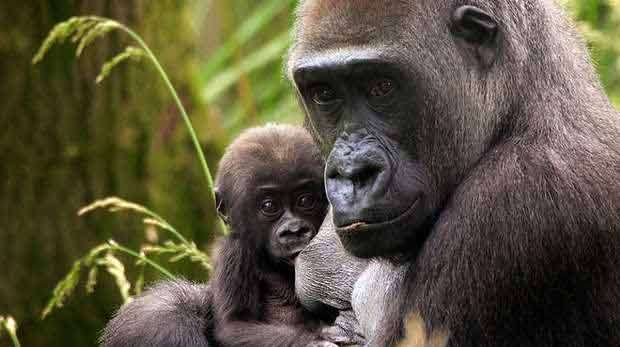Adult and baby gorilla in a leafy green location