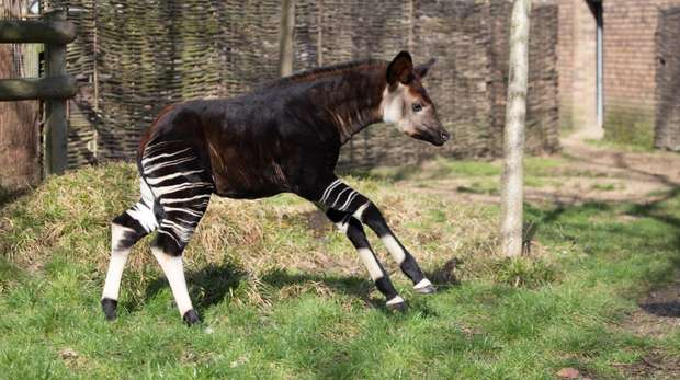 Meghan the okapi