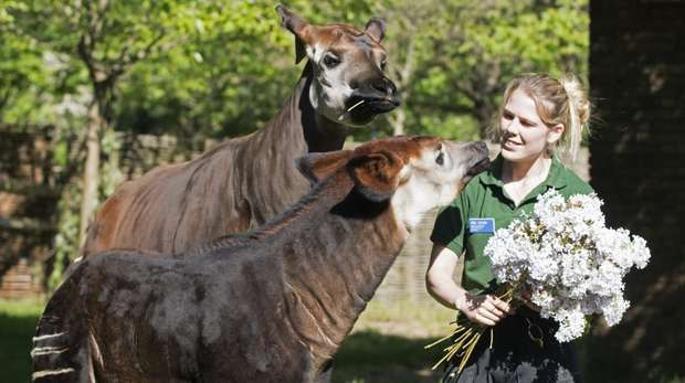 Meghan the okapi enjoys a floral treat