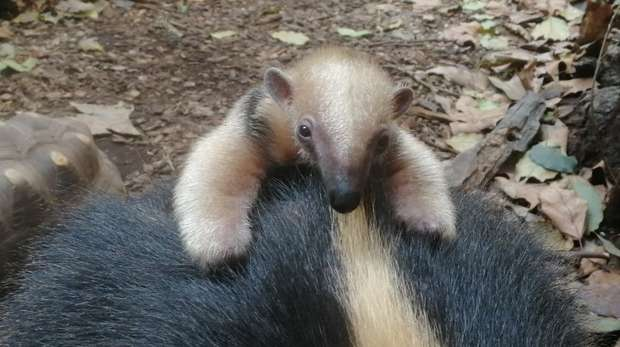 Baby tamandua at ZSL London Zoo