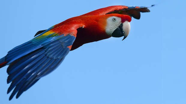 A macaw in Birds of the World
