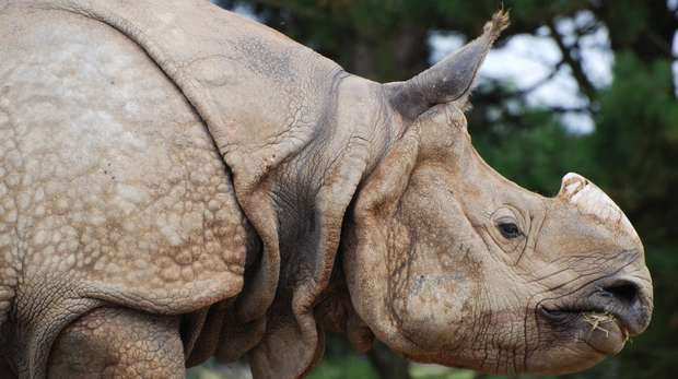 Greater one-horned rhino at ZSL Whipsnade Zoo